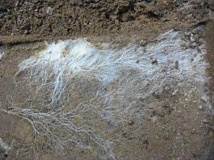 Mycelium - Fungal mycelium
