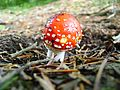 Mushroom at Juniku Mountains.jpg