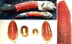 Mutinus elegans (DG 9911 Type).jpg