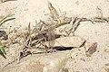 Myrmeleontidae (36917267924).jpg