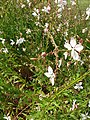 Myrtales - Oenothera lindheimeri - 3.jpg