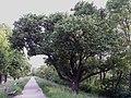 NÖ-Naturdenkmal GF-030 Wildbirnbaum sl1.jpg