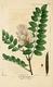 NAS-077 Robinia viscosa.png