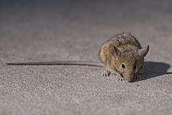 Rats in New York City - Wikipedia