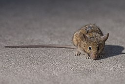NYC Brown Rat