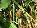 NZ Common copper butterfly, female 02.JPG