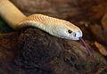 Naja kaouthia albino Genève 24102014 1.jpg