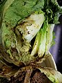 Napa Cabbage (Won Bok, Chinese Cabbage, Celery Cabbage) Bacterial soft rot (35468272752).jpg