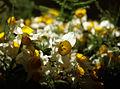 Narcissus-Narges Semnan02.jpg