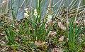 Narcissus tazetta, Agde 04.jpg