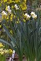 Narcissus tazetta GotBot 2015 001.jpg