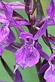 Narrow-leaved Marsh Orchid - Dactylorhiza traunsteineri (?) (14401726448).jpg