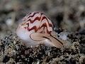 Necklace shell (Tanea undulata) (32467261255).jpg