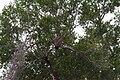 Necrosyrtes monachus Kruger National Park.jpg