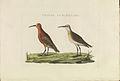 Nederlandsche vogelen (KB) - Calidris ferruginea (426b).jpg