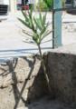 Nerium beton.png