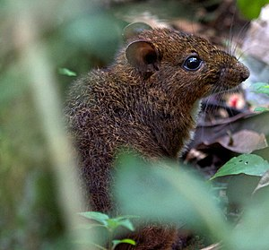 Nesomys rufus - Red forest rat (15721901477).jpg