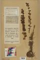 Neuchâtel Herbarium - Larix decidua - NEU000003681.tif