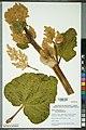 Neuchâtel Herbarium - Rheum rhabarbarum - NEU000092650.jpg