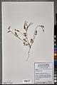 Neuchâtel Herbarium - Scandix pecten-veneris - NEU000101042.jpg