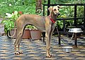 Nipper; 12 months old male Chippiparai dog1.jpg