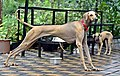 Nipper; 12 months old male Chippiparai dog2.jpg