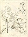 Nonatelia paniculata Aublet 1775 pl 70.jpg