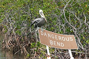 John Pennekamp Coral Reef State Park - Nonbreeding adult brown pelican amidst a mangrove forest at John Pennekamp Coral Reef State Park.