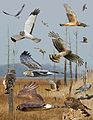 Northern Harrier From The Crossley ID Guide Eastern Birds.jpg