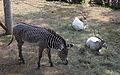 Nyíregyháza Zoo, zebra, antilop.jpg