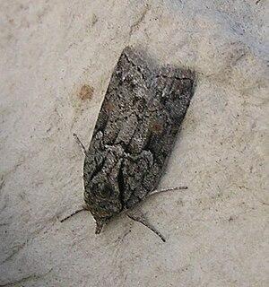 <i>Nycteola</i> genus of insects