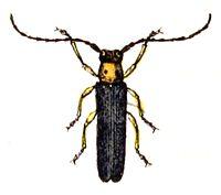 Oberea.oculata.-.calwer.40.05.jpg
