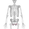 Obturator foramen 01 anterior view.png