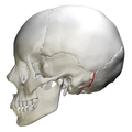 Occipitomastoid suture - skull - lateral view01.png