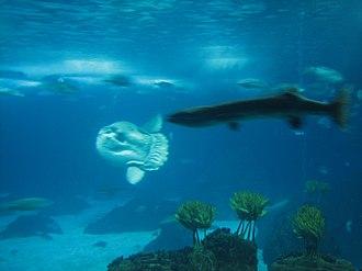 Molidae - Image: Oceanarium (3577167356)