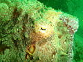 Octopus at Lorry Bay PB012016.JPG