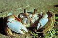 Ocypode quadrata (Ghost crab).JPG