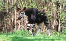 Okapi-Wald1.png