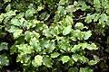 Olearia paniculata in Auckland Botanic Gardens 01.jpg