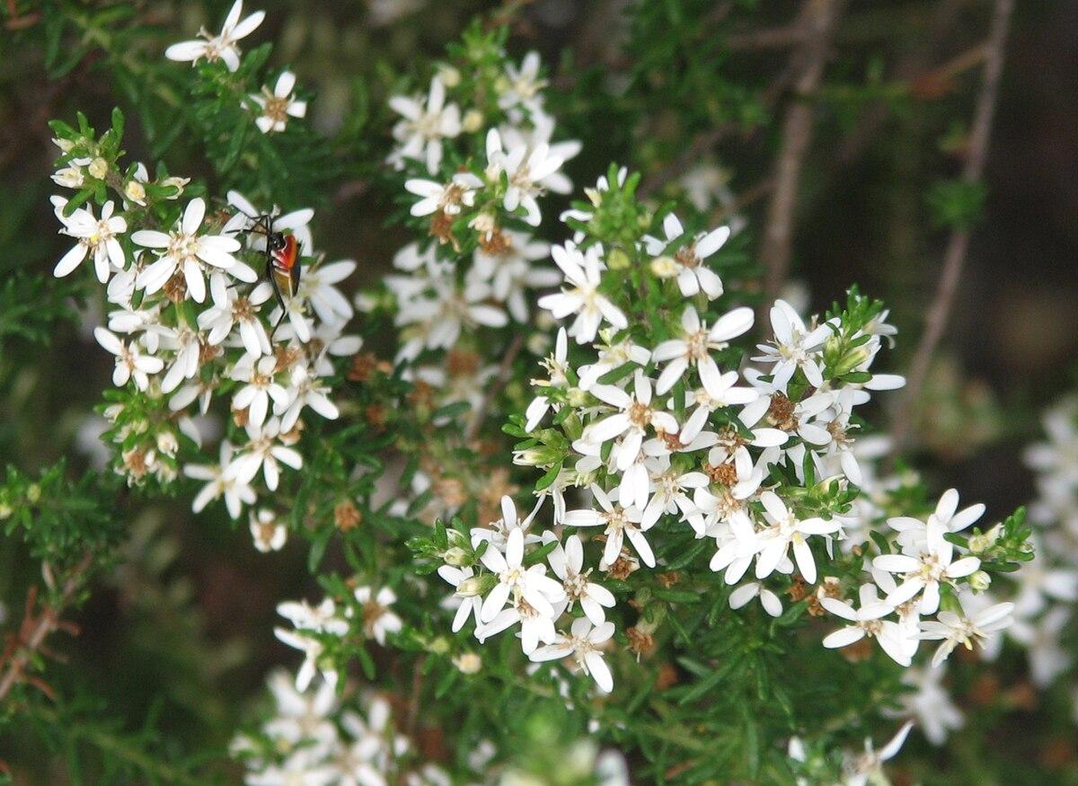 Olearia Ramulosa Wikipedia