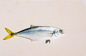 Leatherjacket fish - Image: Oligoplites saurus.11B