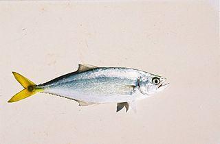 Leatherjacket fish Species of fish