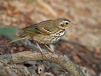 Olive-backed Pipit (Anthus hodgsoni) in Kolkata W IMG 4336