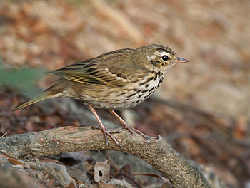 English: Olive-backed Pipit Anthus hodgsoni in...