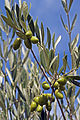 Olives (Lucques) Cl J Weber (23122168056).jpg