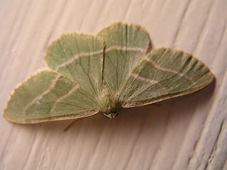 <i>Hylaea fasciaria</i> Species of moth