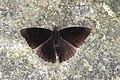 Open wing position of Rohana parisatis Westwood, 1850 – Black Prince Butterflies Of Yazali - 5.jpg