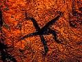Ophiocoma echinata on Agelas clathordes.jpg