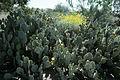 Opuntia engelmanii WPC 2.jpg