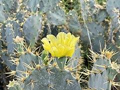 Opuntia engelmannii en fleur 01.jpg